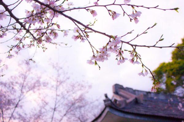 日本の桜の様子