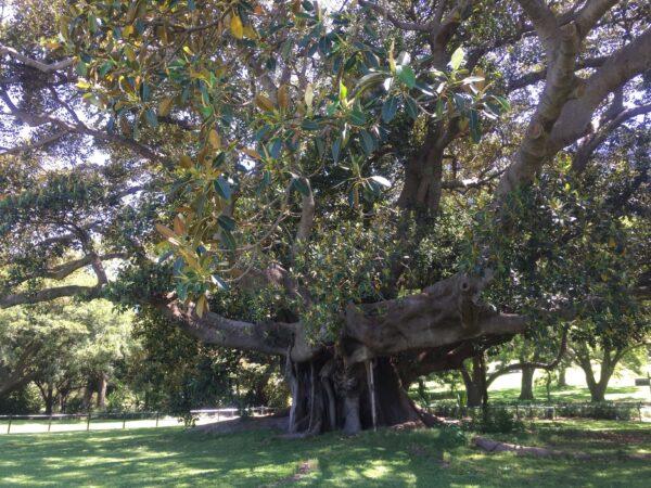 シドニーのロイヤルボタニカルガーデンの大きな樹木