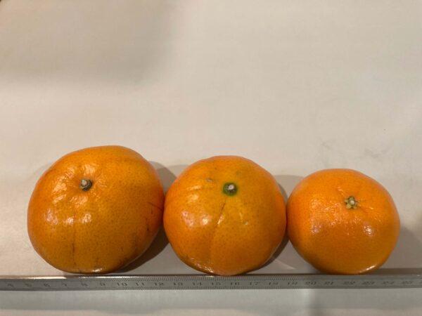 オーストラリアで収穫された3種類のマンダリンの比較
